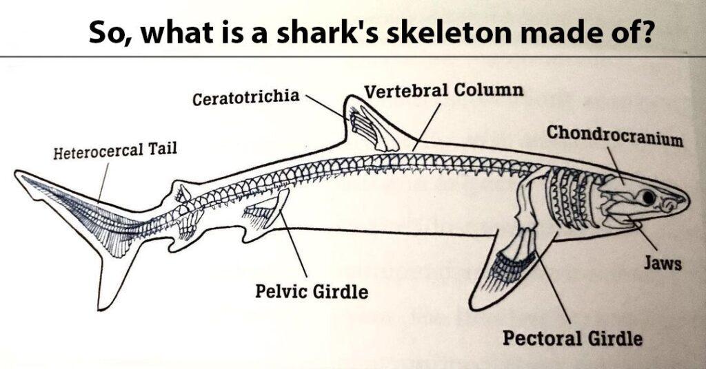 Skeleton of Shark