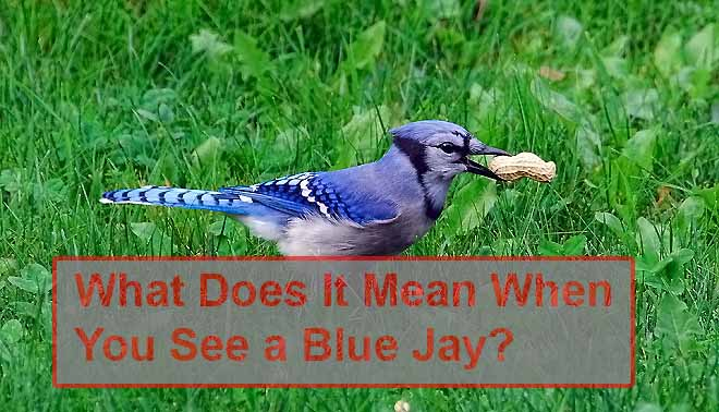 What Does it Means When You See a Blue Jay